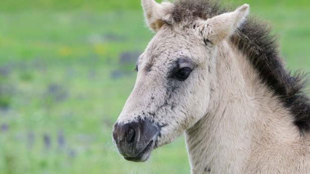 Konik-Pferd im WWF-Naturreservat Marchegg