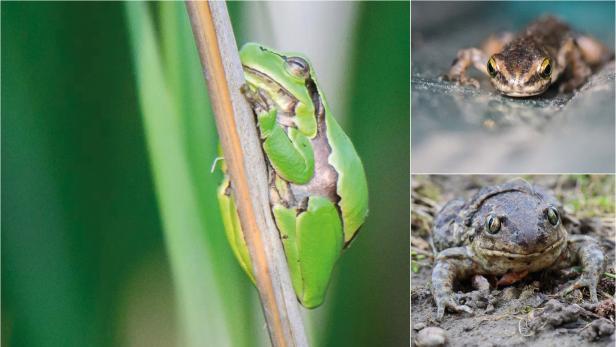 Amphibienwanderung Österreich